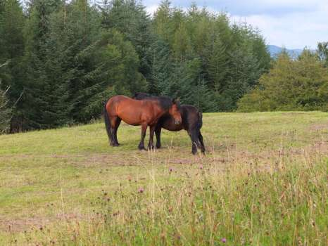 The ponies Rose and Quince just after taking the hay off in High Field last year