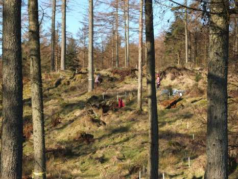 Leaving lots of room for natural regeneration of larch alongside the newly planted trees