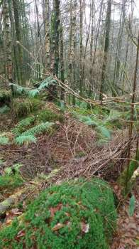 Typical red squirrel habitat of unthinned larch and spruce in Sawrey Ground Plantation at Yewfield