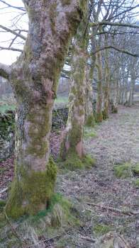 A row of wind firm Sycamore on the path to Tarn Hows