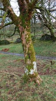 A rich mix of mosses and lichens on Sycamore bark