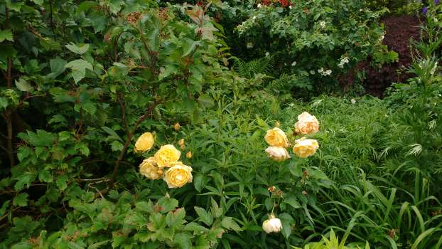 Graham Stuart Thomas a rich yellow David Austin rose