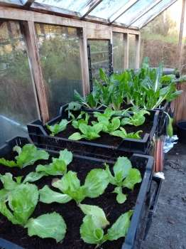The mild early winter has brought on late autumn sowings in the greenhouse