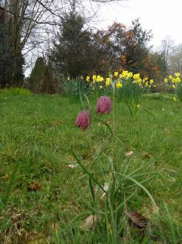 Fritillaries in long grass along the entrance drive