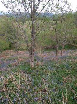 Bluebells under young oaks in Corner Copse