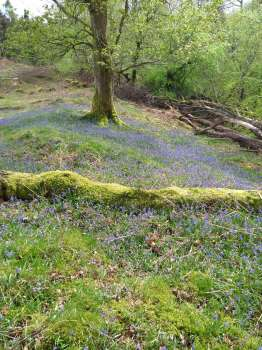 Bluebells under an oak on the edge of a clear felled diseased larch area