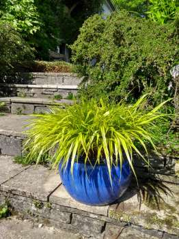 Hakenochloa in a contrasting coloured pot