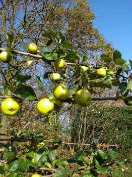 Tolstoy apples in the upper garden