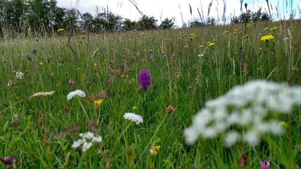 Northern marsh orchid in High Field