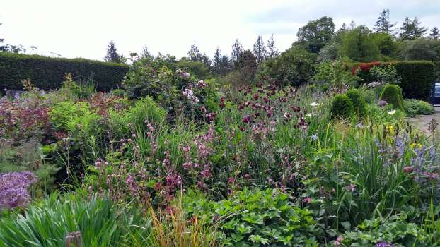 Purple cirsium, red campion, Lysimachia Firecracker and Rosa Queen of Denmark