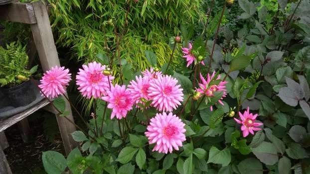 A double dahlia Pipers Pink