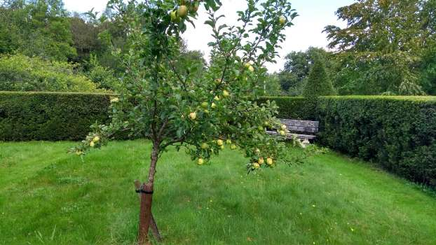 One of four Keswick Codlin apple trees in Jakes Garden