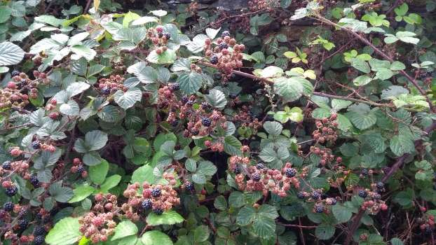 Blackberries ripening on the footpath up to Tarn Hows