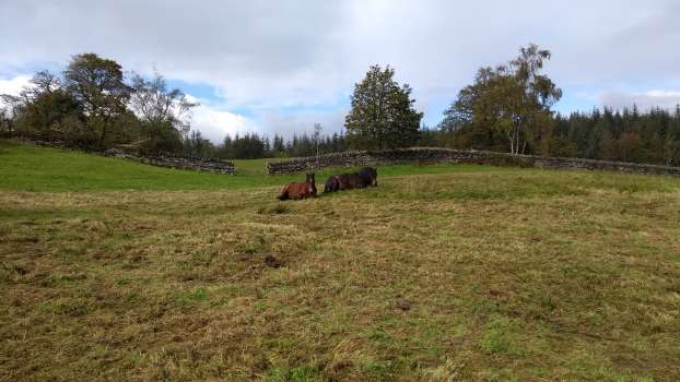 Our ponies keeping an eye on us as we gather rushes