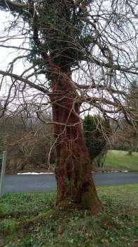 Clearing the trunk of the Dawn Redwood of ivy