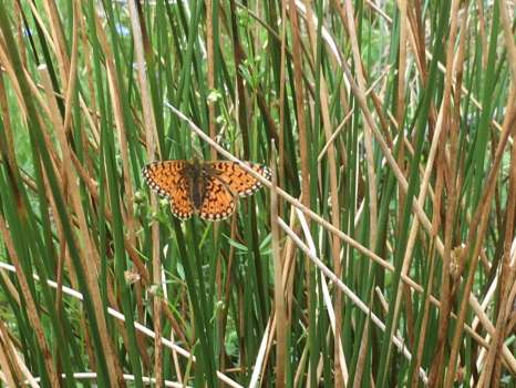 Small pearl bordered fritillary on soft rush in High Field