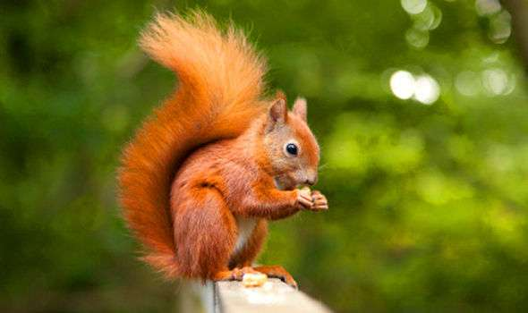 Beatrix Potter's Squirrel Nutkin, our native red squirrel