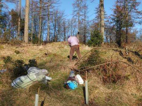 Planting sycamore in plastic tubes to protect young trees from rabbit, hare and vole damage