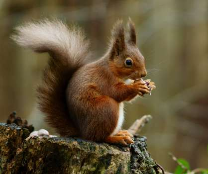 The native red squirrel with it's characteristic cute ear tufts