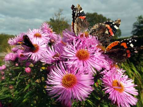 A crowd of red admirals on Michaelmas daisy