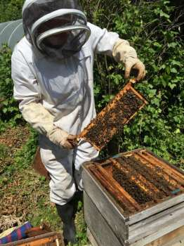 Looking for brood in one of our three hives.