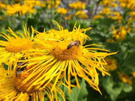 Honey Bee on Inula