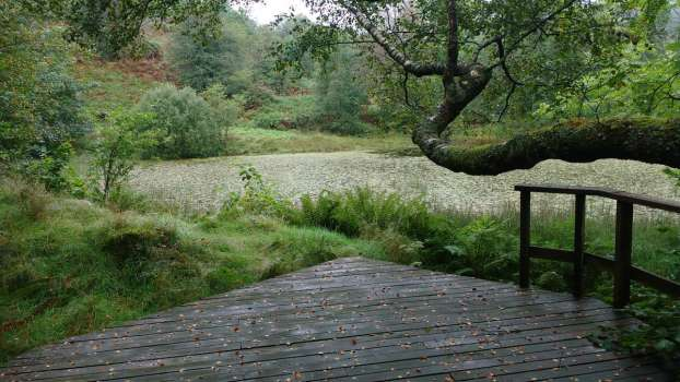 Early autumn morning at Yewfield's small tarn with birch leaves on the deck