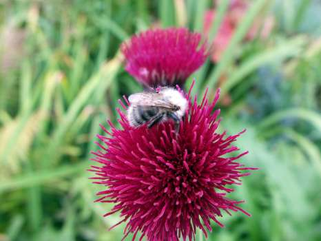 A late bee on a second flowering of the melancholy thistle