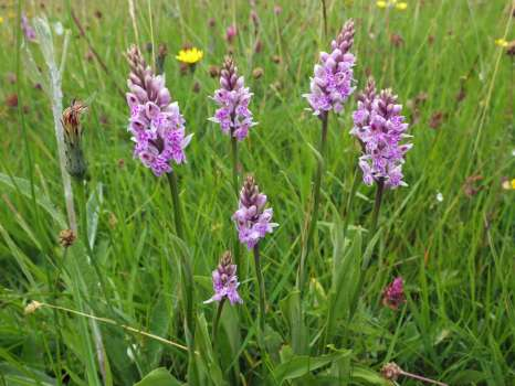 A group of common spotted orchid in the upper hay meadow