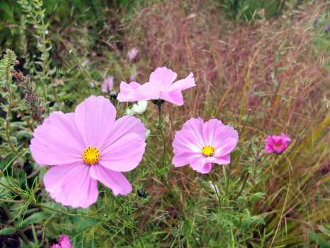 Cosmos and the hazy pinkish panicles of pheasant's tail grass