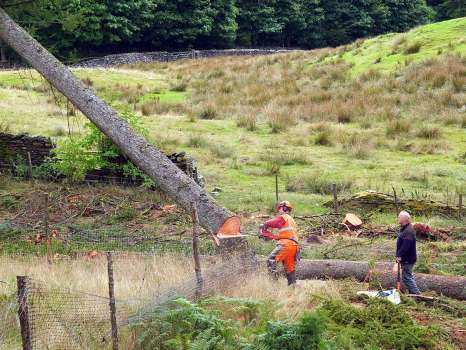 Contractors felling a larch in the corner of one of the planting enclosures