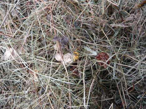 A close up of the hay with hay rattle, cat's-ear and self-heal among the grasses