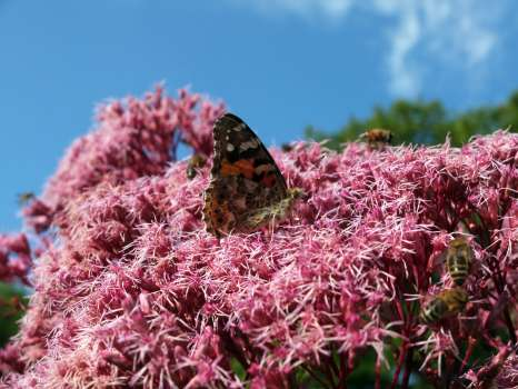 Honeybees and a painted lady butterfly on hemp agrimony
