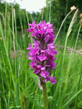 Northern marsh orchid numbers are increasing in our meadows