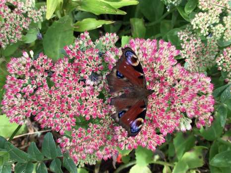 Peacock on sedum - their numbers were the fourth highest in the count
