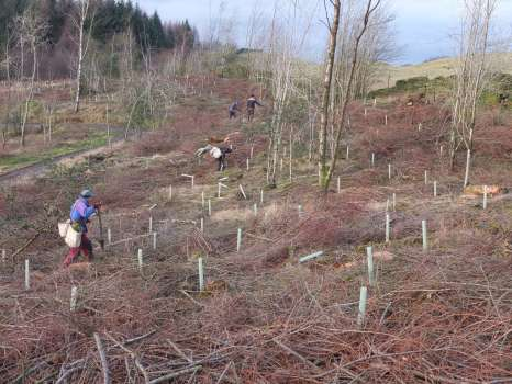 Planting a mix of Scots pine, beech and birch in the Greene Wood