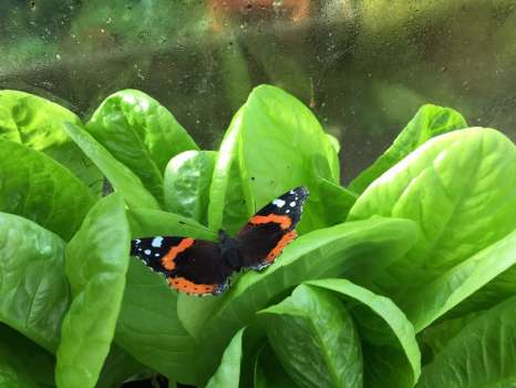 Red admiral sheltering from the gales on winter lettuce in the greenhouse
