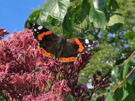 Red admiral on Jo Pye weed on a rare sunny day in September