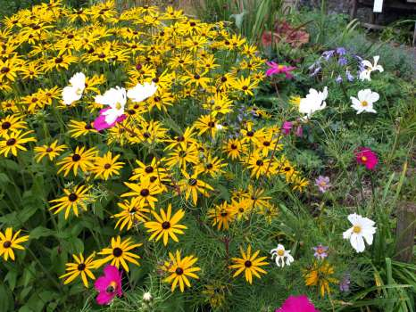 A clump of Rudbeckia with bright pink and white cosmos flowers