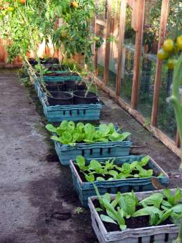 Trays of winter lettuce in the greenhouse - a robin helps out on the foreground tray.