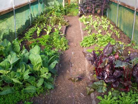 Endive, chervil, cabbage, beetroot, purslane, parsley, kale and winter lettuces in the tunnel. Looks like it all needs a water!